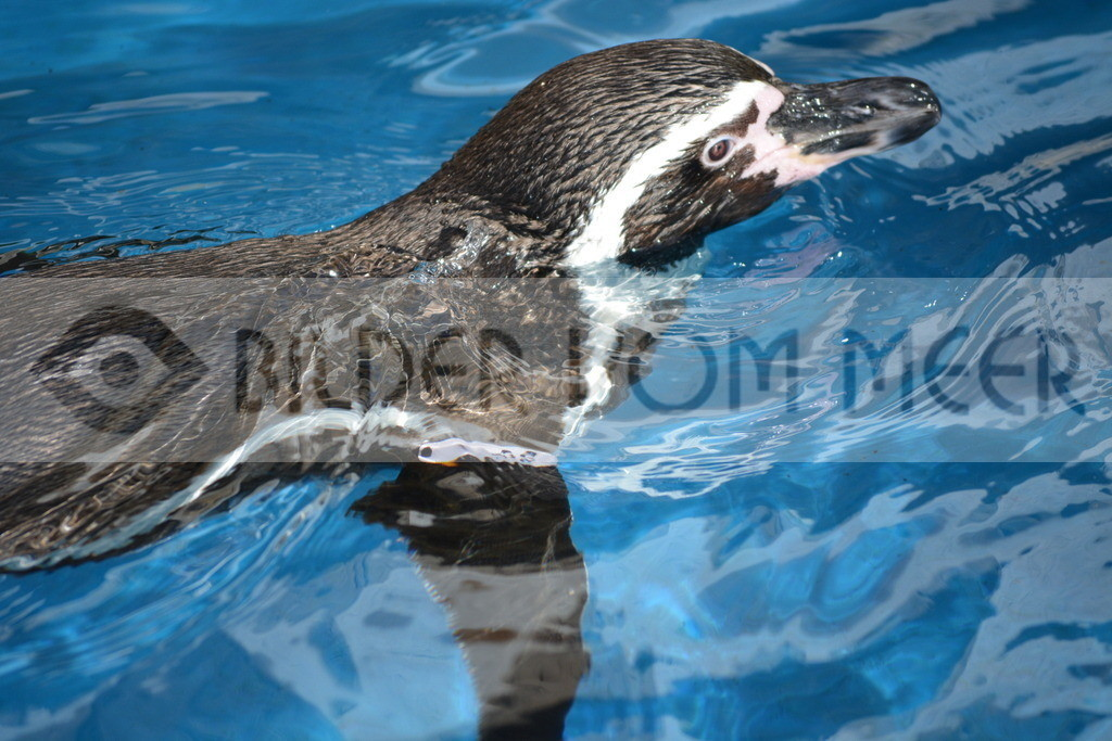 Pinguine Bilder   Foto Pinguin