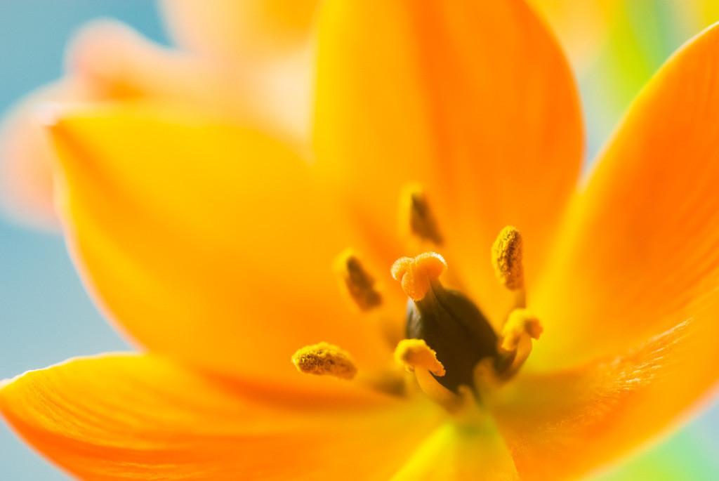 Best. Nr. Blütenpracht06 | Orientalischer Milchstern