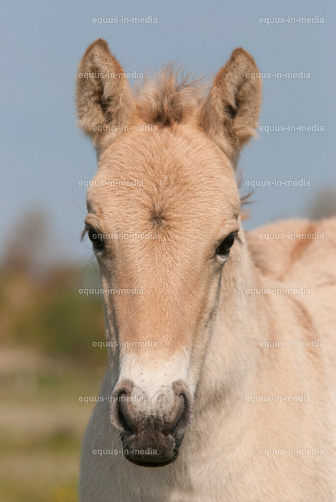 20100514-DSC_2248   Kopfporträt Henson Pferd Fohlen
