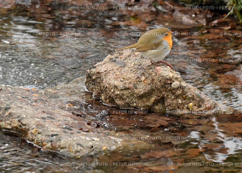 Vogel des Jahres 2021 - das Rotkehlchen - copyright by HEN-FOTO | Wahl entschieden zum Vogel des Jahres 2021 - das Rotkehlchen - copyright by HEN-FOTO / Peter Henrich