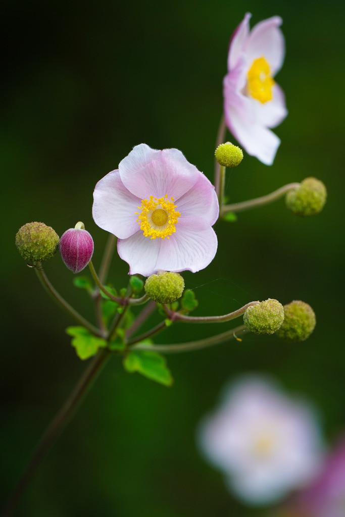 Herbst-Anemone - Anemone hupehensis   Blüten einer Herbst-Anemone (Anemone hupehensis).