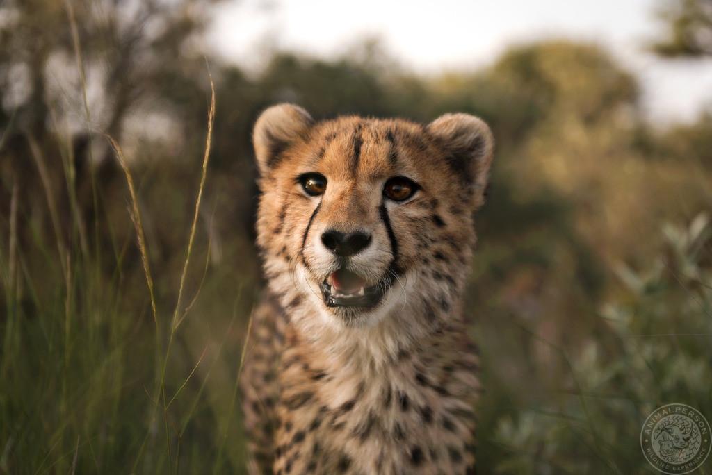 Geparden Teenager