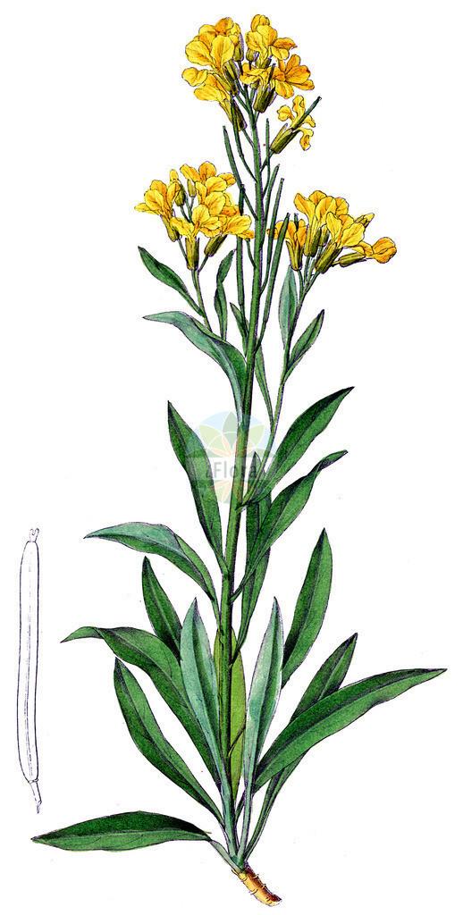 Erysimum cheiri (Goldlack - Wallflower)   Historische Abbildung von Erysimum cheiri (Goldlack - Wallflower). Das Bild zeigt Blatt, Bluete, Frucht und Same. ---- Historical Drawing of Erysimum cheiri (Goldlack - Wallflower).The image is showing leaf, flower, fruit and seed.