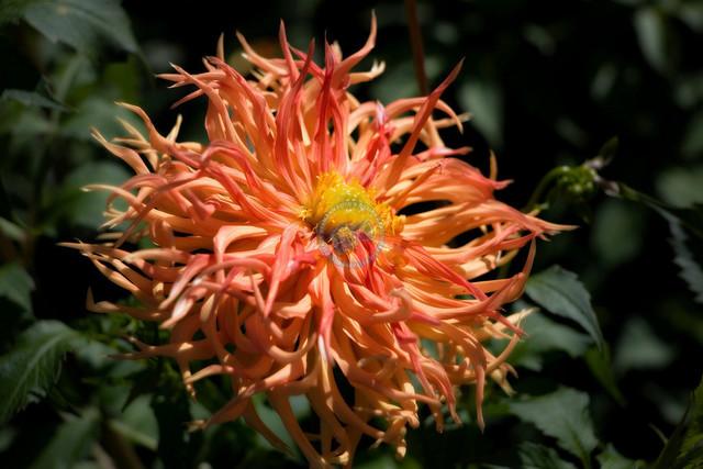 Bright Star, Cactus-Dahlie
