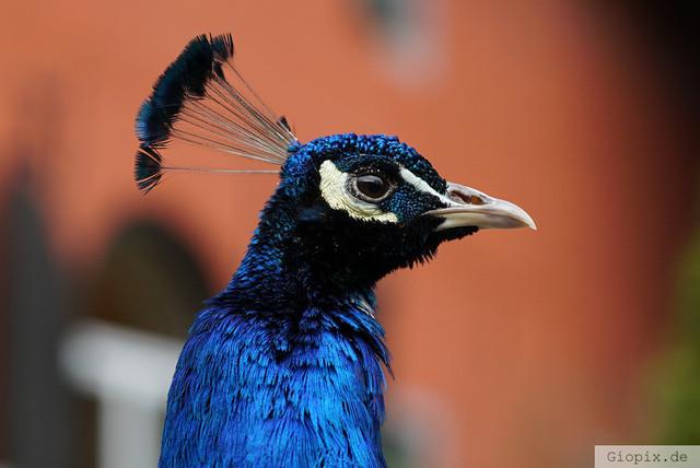 Pfauenkopf | Kopf eines männlichen Pfau