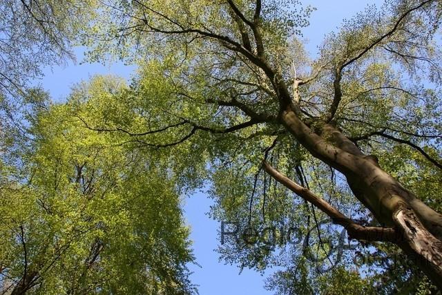 Blick nach oben | Hildesheimer Wald, ein Blick zu den Baumkronen