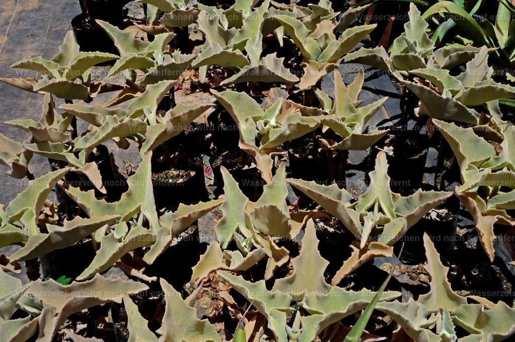 Marokkanische Pflanzen | Marokkanische Pflanzen
