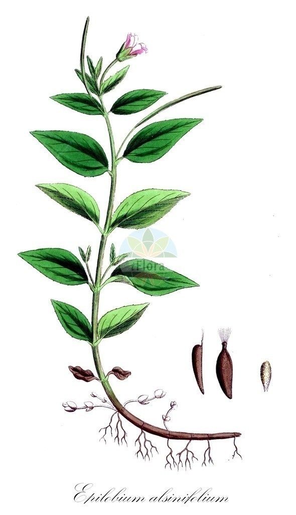 Historical drawing of Epilobium alsinifolium (Chickweed Willowherb) | Historical drawing of Epilobium alsinifolium (Chickweed Willowherb) showing leaf, flower, fruit, seed