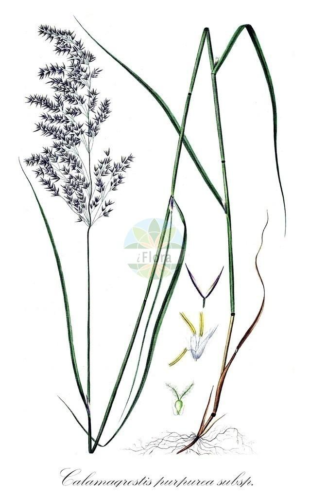 Historical drawing of Calamagrostis purpurea subsp. phragmitoides (Scandinavien Smallreed) | Historical drawing of Calamagrostis purpurea subsp. phragmitoides (Scandinavien Smallreed) showing leaf, flower, fruit, seed