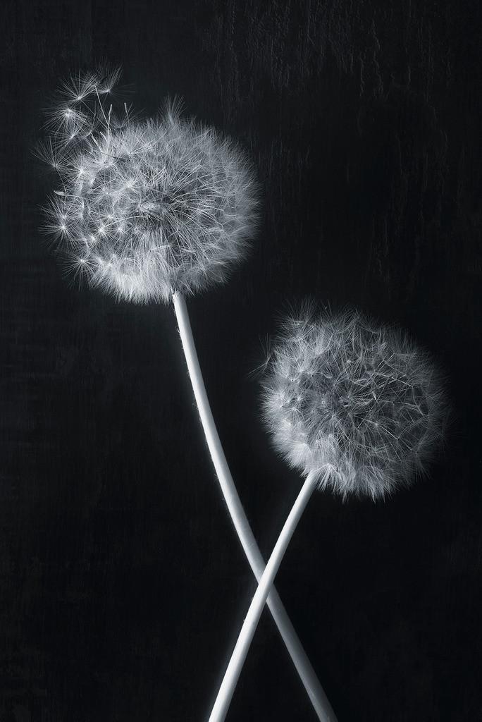Taraxatum | Zwei gekreuzte Pusteblumen vor dunkel Hintergrund
