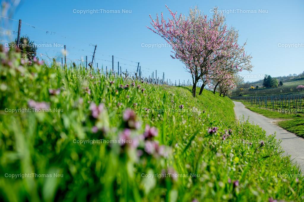 Bergstrasse-Fruehling_Blueten_2017   Frühling an der Bergstraße, in den Weinbergen zwischen Bensheim und Heppenheim,