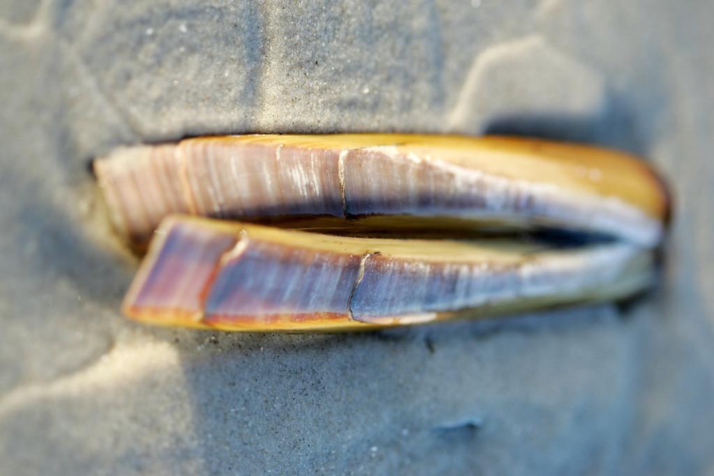 Nordseeinsel | Nordsee Insel Amrum, Nordfriesland. Scheidenmuschel, Ensis ensis, am Strand.