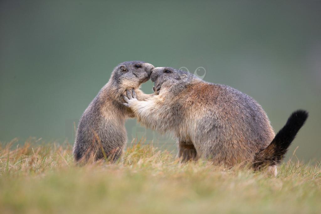 20190819101457   Das Murmeltier, oder Mankei wie es in Bayern auch genannt wird, ist sicher eines der beliebtesten und bekanntesten Tiere des Alpenraumes. Als Bergwanderer hört man häufig das schrille Warnpfeifen der alpinen Nager. Zu Gesicht bekommt man sie seltener, da sie bei nahender Gefahr sofort in ihre Baue flüchten.