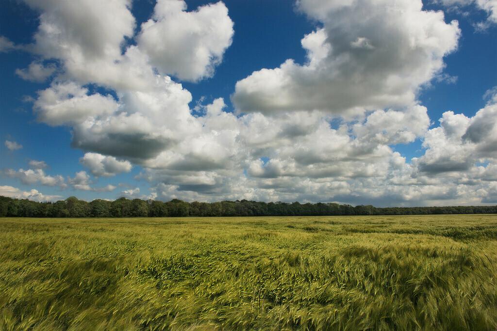 Gerstenfeld | Gerstenfeld im Wind mit blau weißem Wolkenhimmel