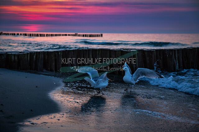 Strandmotiv, Tiere, Möwen im Sonnenuntergang | Möwen im Sonnenuntergang