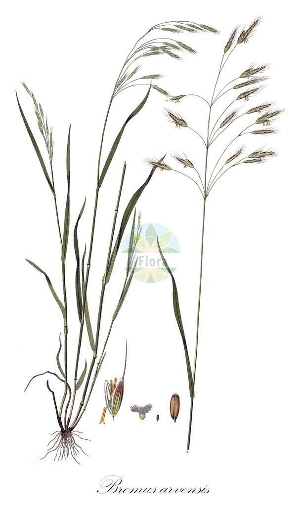Historical drawing of Bromus arvensis (Field Brome) | Historical drawing of Bromus arvensis (Field Brome) showing leaf, flower, fruit, seed