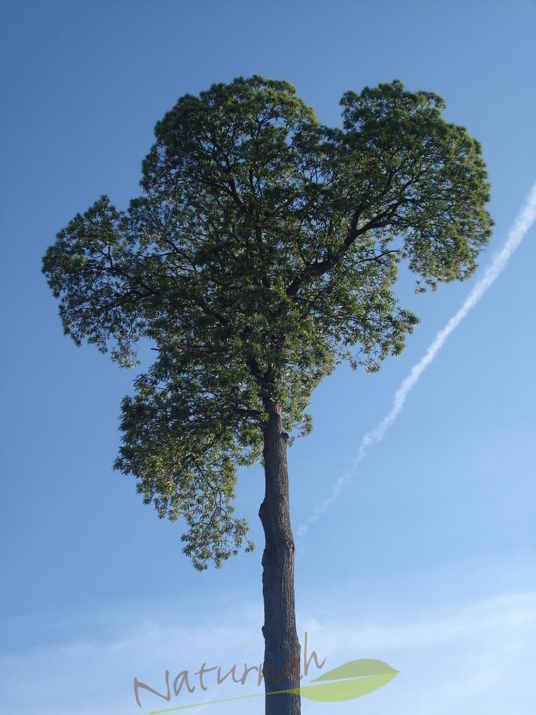 Klosterbaum mit Sommergrün