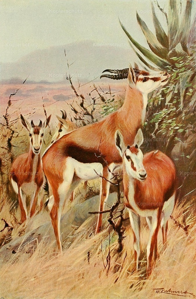 Kuhnert_ F.W. (1865-1926) - Wild Life of the World 1916 - Springbok