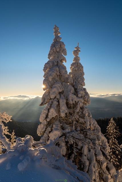 Verschneite Tannen | Verschneite Tannen im Sonnenaufgang