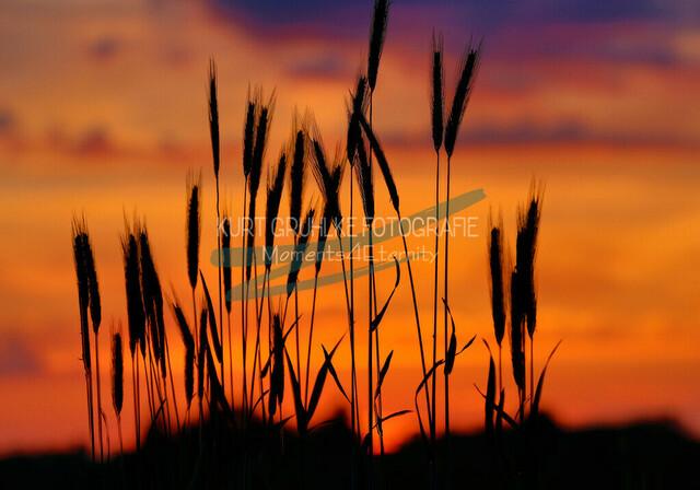 Reif für die Ernte | Feld in der Abendsonne Sonnenuntergang