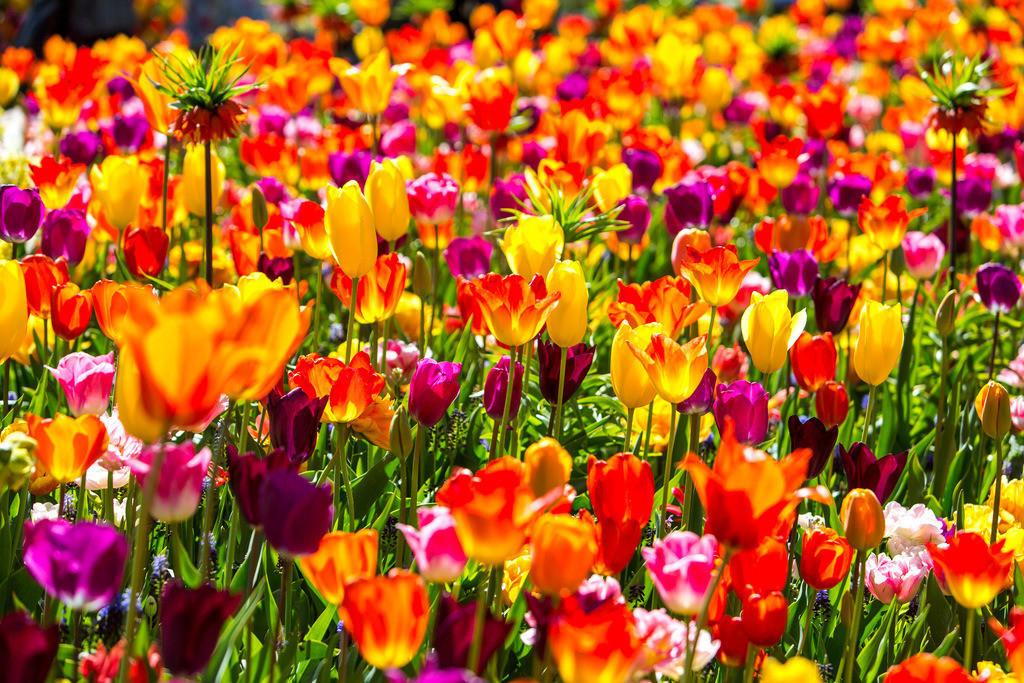 JT-160803-092 | viele bunte Tulpen, Tulpenfeld, Tulpenbeet,
