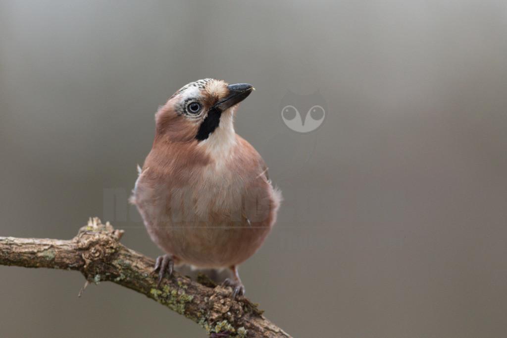 20191229-663A6428 Kopie   Der Eichelhäher (Garrulus glandarius) ist ein Singvogel aus der Familie der Rabenvögel (Corvidae).  Er ist über Europa, Teile Nordafrikas und des Nahen Ostens sowie in einem breiten Gürtel durch Asien und dort südwärts bis nach Indochina verbreitet. Er brütet in lichten, strukturreichen Wäldern aller Art, in Mitteleuropa aber bevorzugt in Misch- und Laubwäldern. Sein Nahrungsspektrum ist sehr vielfältig, wobei im Sommerhalbjahr tierische, im Winterhalbjahr pflanzliche Nahrung überwiegt. Vor dem Winter werden umfangreiche Vorräte aus Eicheln und anderen Nussfrüchten angelegt.