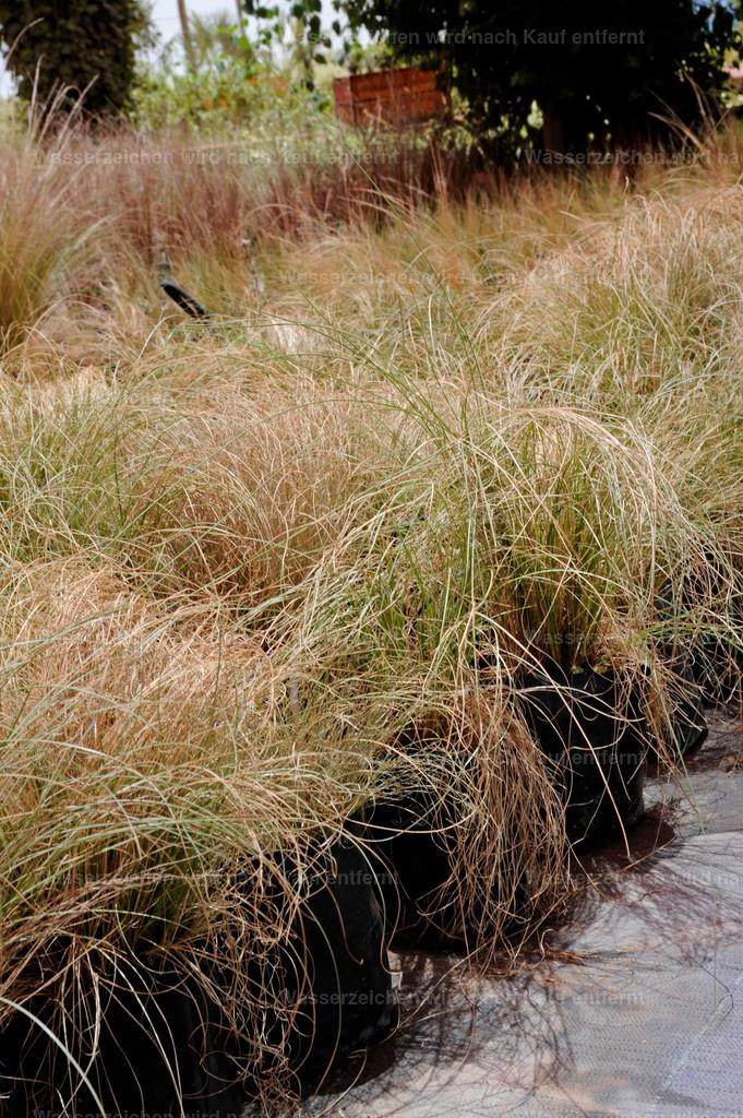 Marokko Gras | Marokko Gras