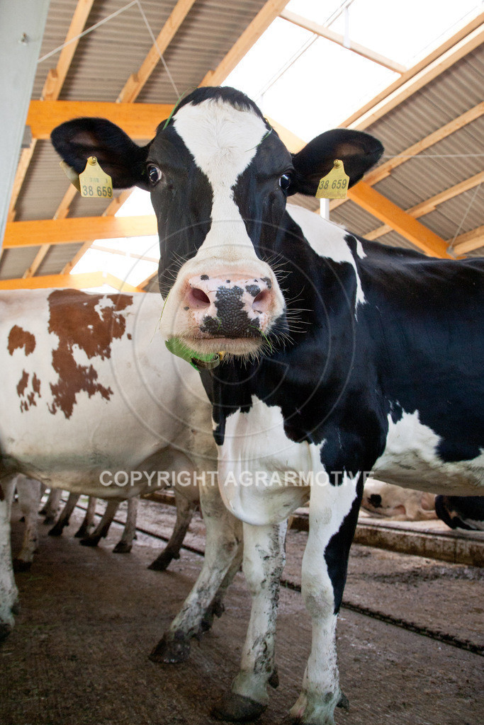 20110627-IMG_3050 | Milchkühe im Boxenlaufstall