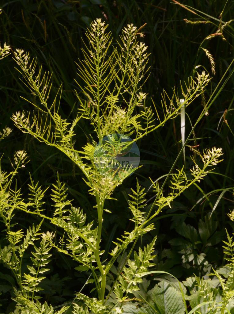 Cardamine impatiens (Spring-Schaumkraut - Narrow-leaved Bitter-Cress) | Foto von Cardamine impatiens (Spring-Schaumkraut - Narrow-leaved Bitter-Cress). Das Bild zeigt Blatt, Bluete und Frucht. Das Foto wurde in Dresden, Sachsen, Deutschland aufgenommen. ---- Photo of Cardamine impatiens (Spring-Schaumkraut - Narrow-leaved Bitter-Cress).The image is showing leaf, flower and fruit.The picture was taken in Dresden, Sachsen, Germany.