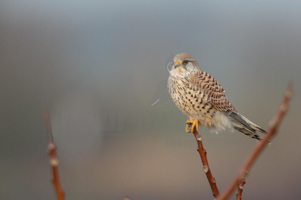 20200111-663A6558 |  Tiere & Pflanzen Aktionen & Projekte Vogel des Jahres 2007 - Turmfalke Der Turmfalke Vogel des Jahres 2007 Der Turmfalke bevorzugt hochgelegene Brutplätze. Auf diese Vorliebe ist wohl auch sein Name zurückzuführen. Der wissenschaftliche Name Tinnunculus bedeutet