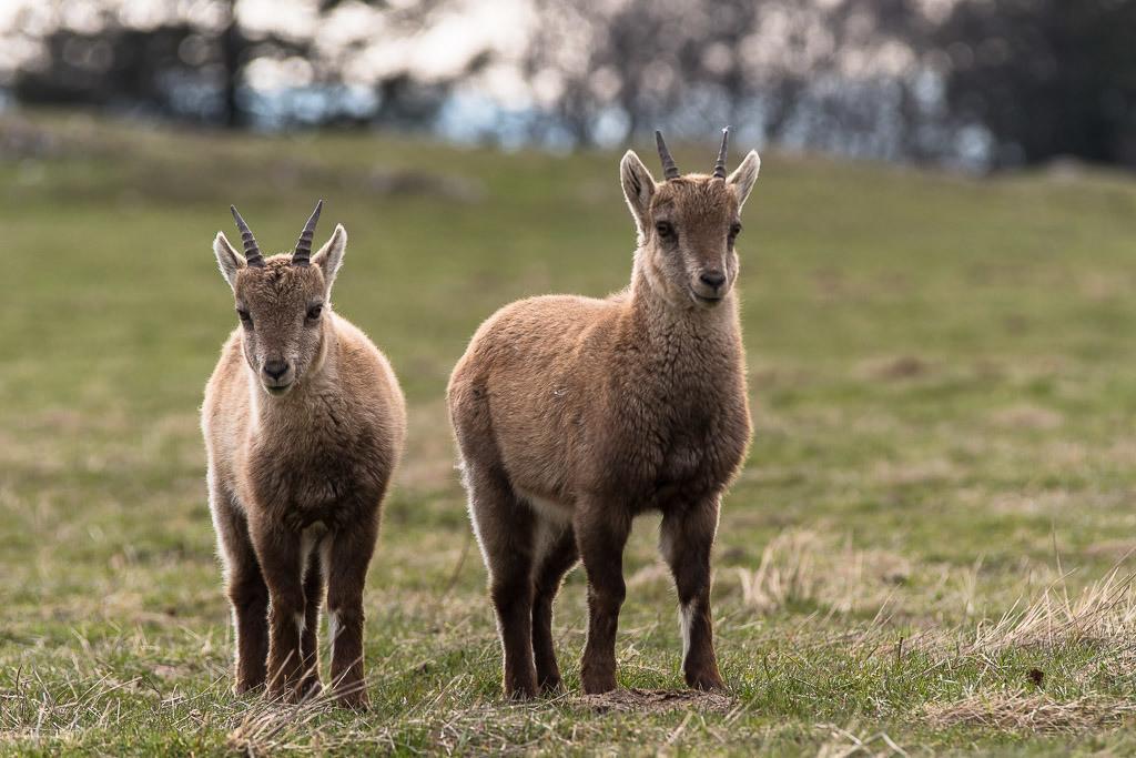 Junge Steinböcke | Jungtiere in der Wildniss