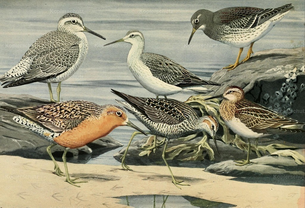 Fuertes_ L.A. (1874-1927) - Birds of Massachusetts 1925 - Sandpipers _ Knot