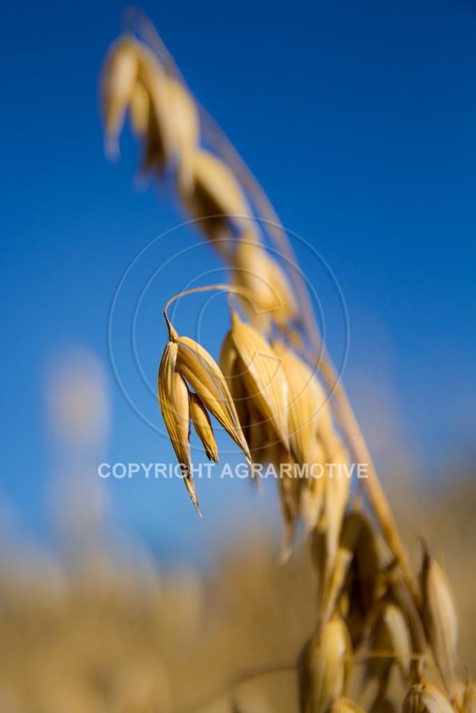 20130801-_MG_8403 | reife Haferpflanzen - AGRARMOTIVE Bilder aus der Landwirtschaft