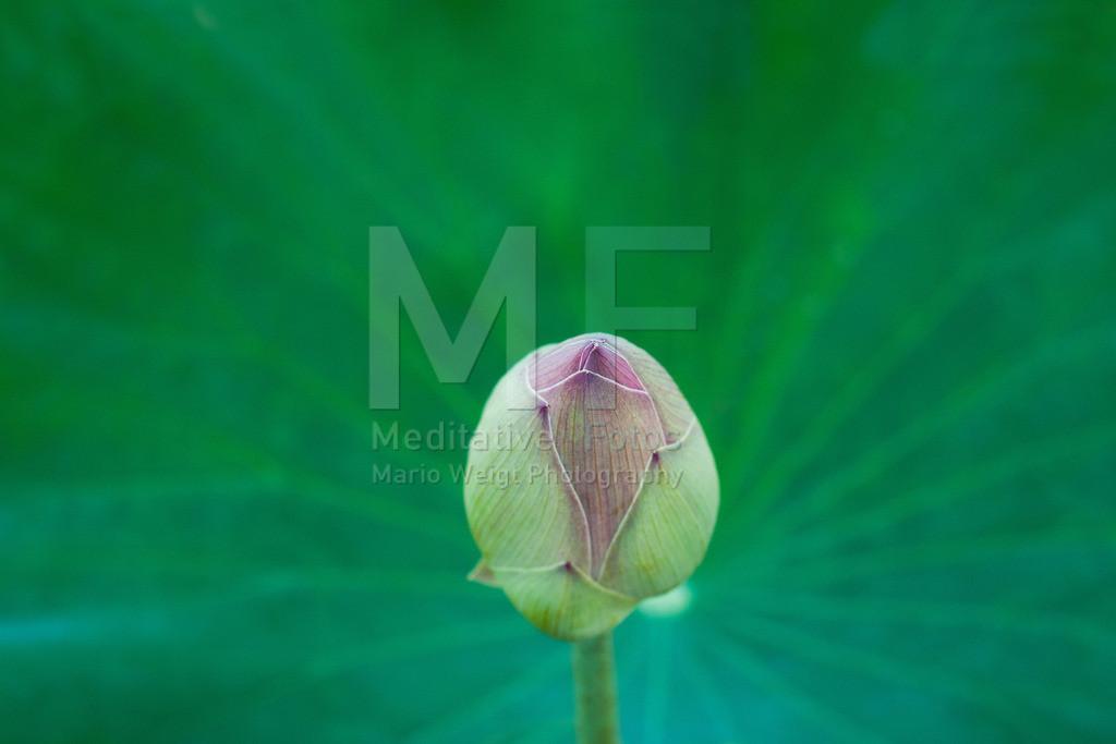 MW1212-2224 | Lotusblume, Symbol der Reinheit im Buddhismus