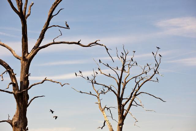 Kormorane auf toten Bäumen | Am Quitzdorfer Stausee, Beobachtung von Kormoranen auf toten Bäumen