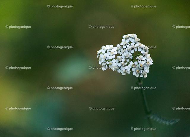 weiße Herz-förmige Blüte   weiße  Herz-förmige Blüte vor einem grünen Hintergrund bei Tageslicht