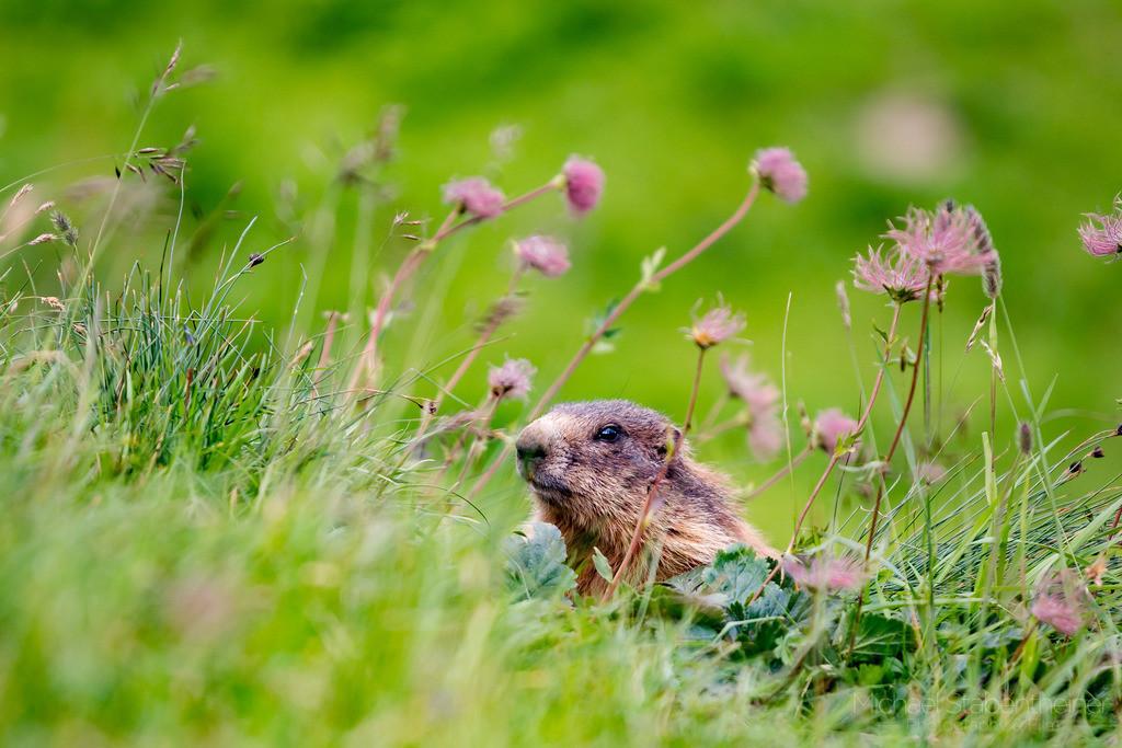 Murmeltier | Ein Murmeltier zwischen Blumen