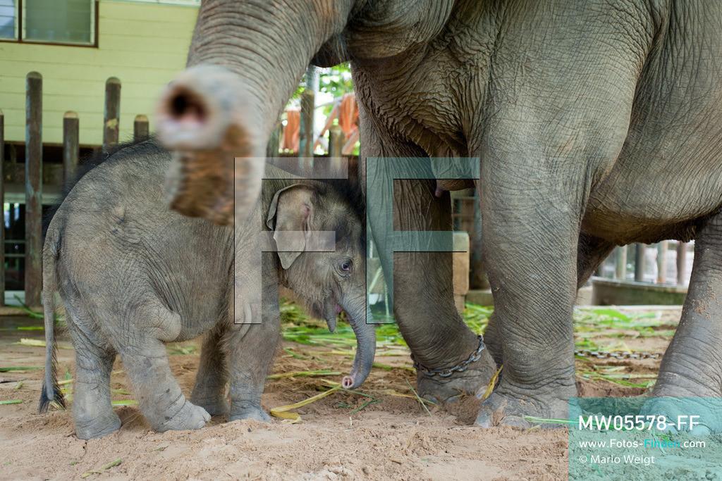 MW05578-FF | Thailand | Lampang | Reportage: Krankenhaus für Elefanten | Elefantenkuh Kham Noi behütet ihr jetzt acht Monate altes Baby Dantae    ** Feindaten bitte anfragen bei Mario Weigt Photography, info@asia-stories.com **