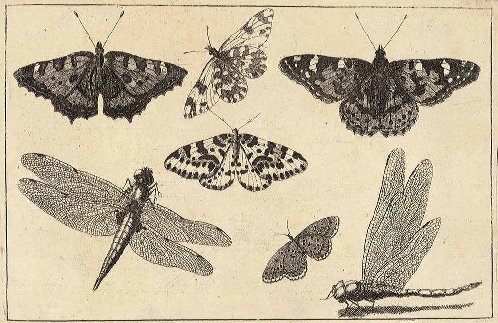 Wenceslas_Hollar_-_Two_dragonflies_and_five_butterflies