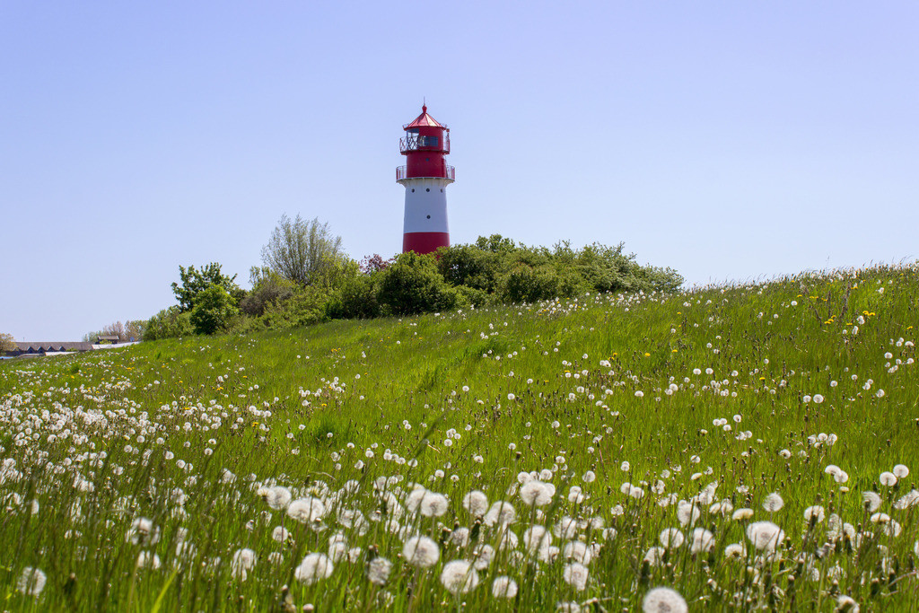 Leuchtturm in Falshöft   Graskoppel mit Pusteblumen am Leuchtturm in Falshöft im Frühling