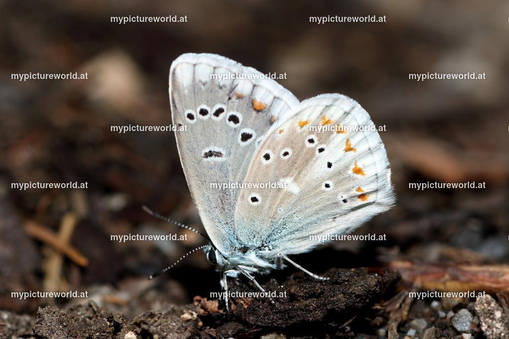 Polyommatus dorylas-001
