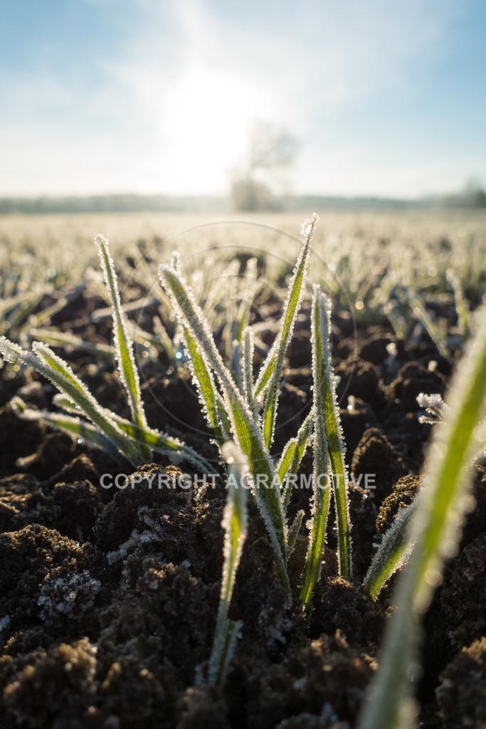 20161204-DSC01325 | junge Getreidepflanzen im Winter - AGRARMOTIVE