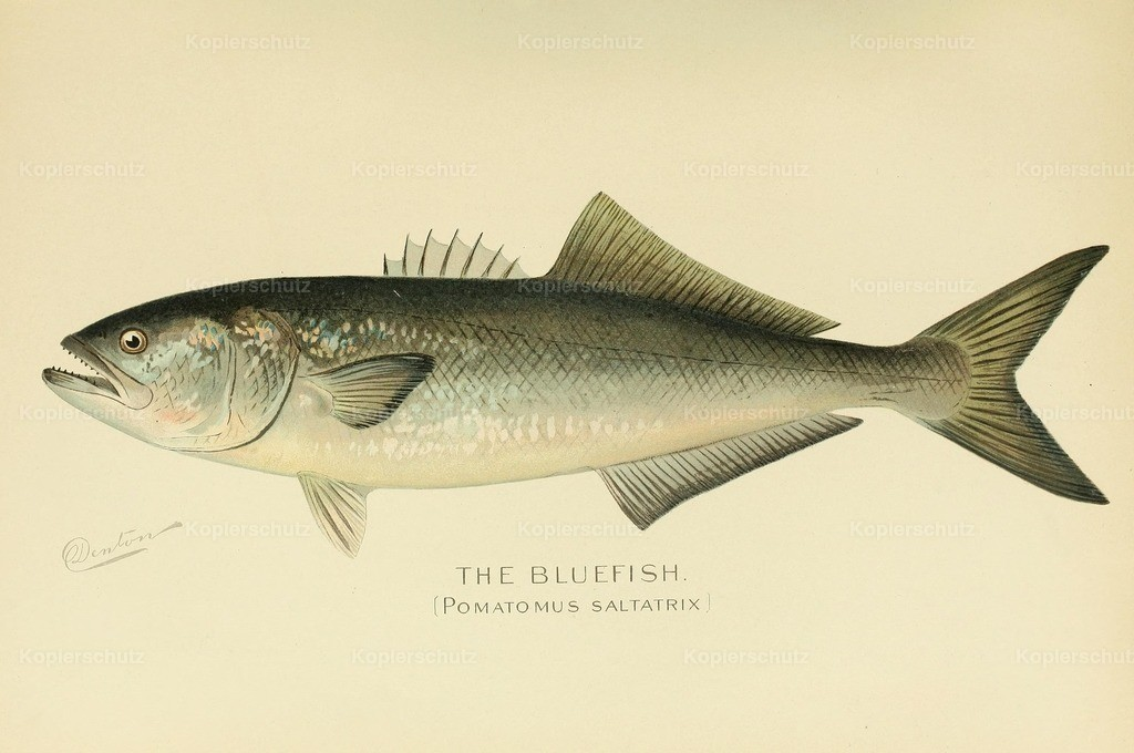 Denton_ S.F. (1856-1907) - Commissioners of Fisheries NY 1899 - Bluefish
