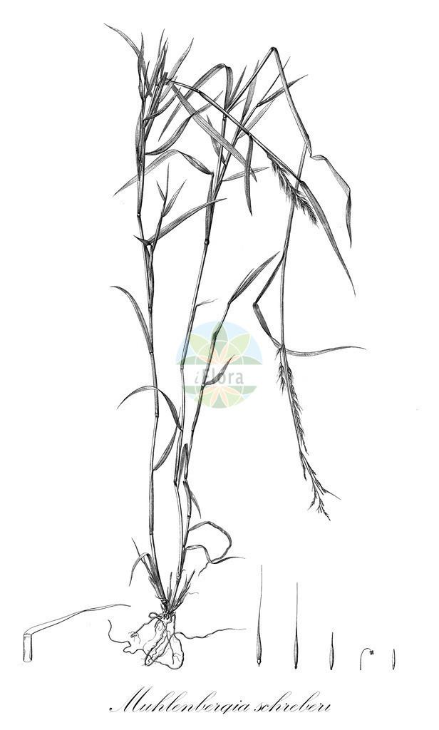 Historical drawing of Muhlenbergia schreberi | Historical drawing of Muhlenbergia schreberi showing leaf, flower, fruit, seed