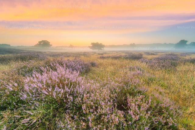 Heidelandschaft im Nebel kurz vor Sonnenaufgang | Morgenstimmung in der Westruper Heide bei Haltern am See im Münsterland. Die Heide blüht und mit dem Morgennebel entsteht eine wunderbare Stimmung.