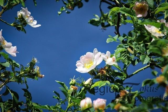 Hildesheimer Rose | Die wilde Rose ist eng mit der Geschichte Hildesheim verbunden