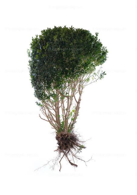 Ein Strauch mit Wurzel (freigestellt) | Ein grüner Strauch vor einem weißen Hintergrund.