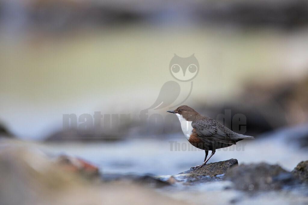 20200612-663A0003 (13) | Die Wasseramsel oder Eurasische Wasseramsel ist die einzige auch in Mitteleuropa vorkommende Vertreterin der Familie der Wasseramseln. Der etwa starengroße, rundlich wirkende Singvogel ist eng an das Leben entlang schnellfließender, klarer Gewässer gebunden.