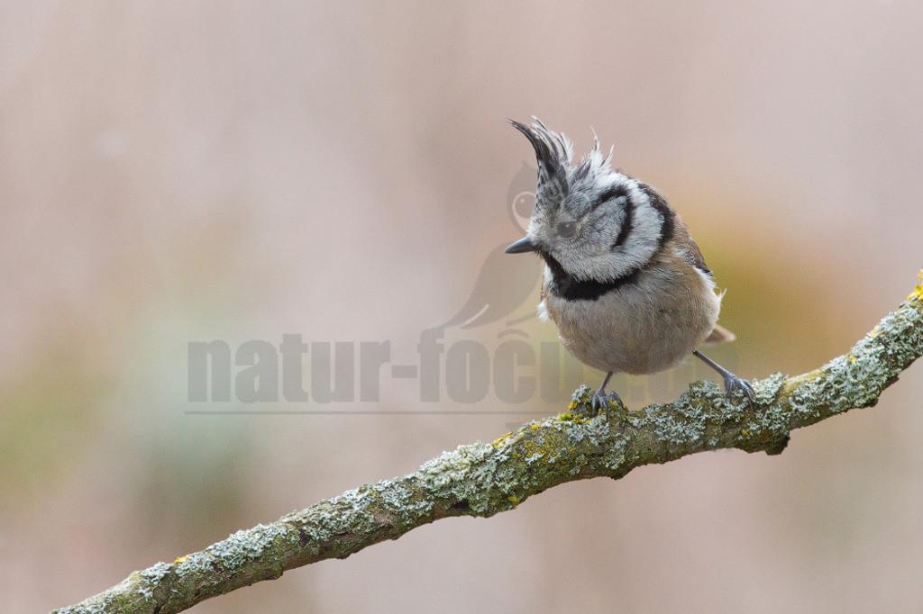 20130329161419 | Die Haubenmeise ist eine Vogelart in der Familie der Meisen. Diese Singvögel sind in Mitteleuropa ein weit verbreiteter und häufiger Brut- und Jahresvogel