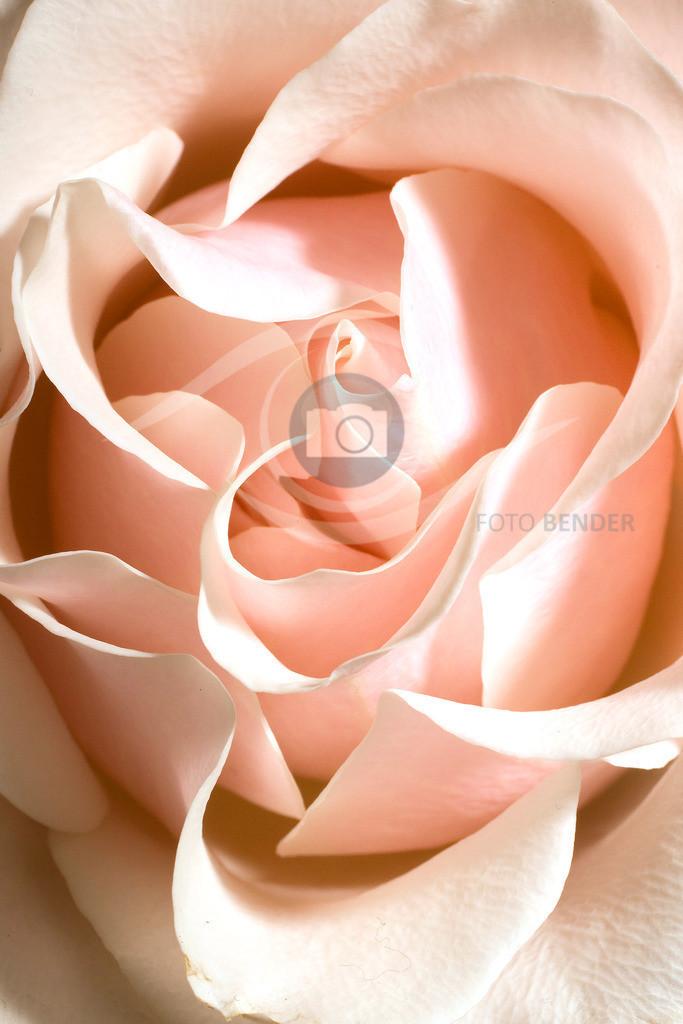 Rose (35)